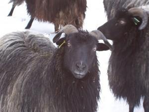 sheep (Heidschnucke, moorland sheep)
